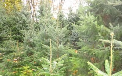 Kerstbomen en chrysanten